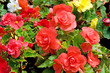 background of flowers begonias