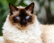 Portrait of Himalayan cat
