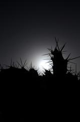 Backlight Silouhetted Cactus