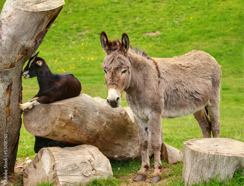 Plexiglas Ezel âne gris