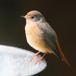 The Common Redstart (Phoenicurus phoenicurus).