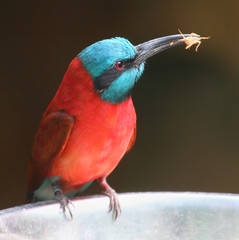 The Northern Carmine Bee Eater (Merops nubicus).