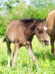 little  foal of welsh pony in the grassland