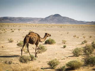 Atlas camel