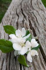 Ein Zweig mit weissen Blüten auf einer alten Holzbank