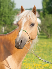 Palomino welsh pony portait