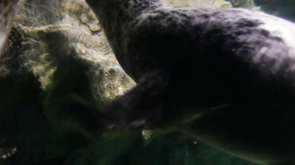 playing young seals underwater