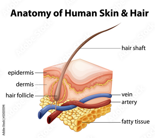 Anatomy of Human Skin and Hair