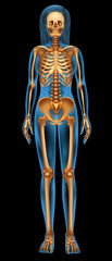 Human skeletal system