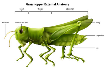 External anatomy of a grasshopper