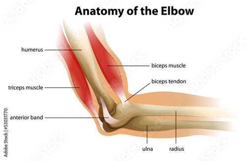 Anatomy of the human elbow