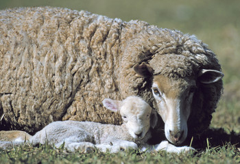 Merino sheep with new lamb