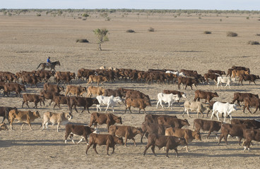 cattle muster on the  Birdsville track
