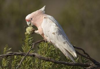 Major mitchell cockatoos feeding