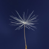 single dandelion seed with drops - 53033326