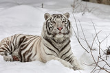 A white bengal tiger, calm lying on fresh snow.