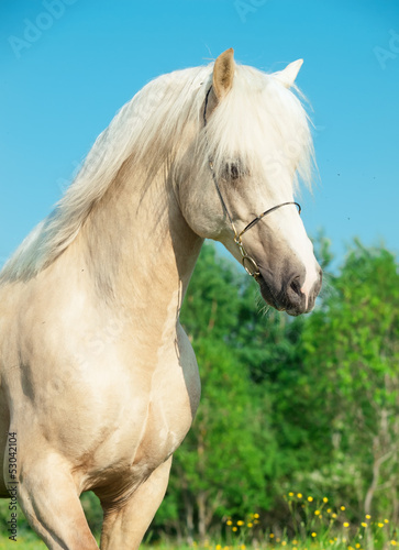 portrait of palomino welsh pony in motion
