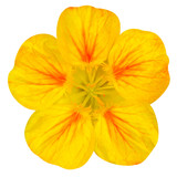 Yellow nasturtium flower Isolated on White