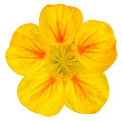 Yellow nasturtium flower Isolated on White