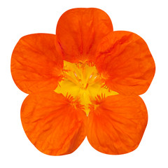 Orange nasturtium flower Isolated on White