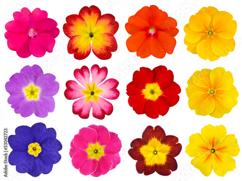Collection of Colorful Primroses Isolated on White