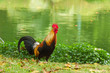 Gamecocks in the garden,focus on rooster