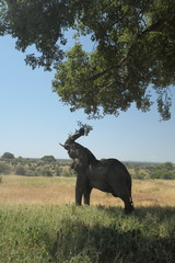 Old elephant bull feeding on a baobab tree