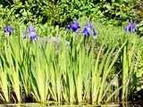 Photo of blooming blue iris flowers in a garden pond