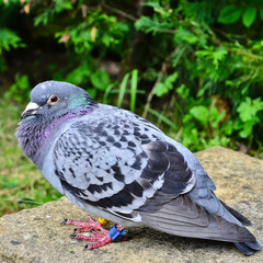 A homing racing pigeon, Columbidae