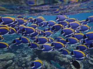 Schwarm von Doktorfischen