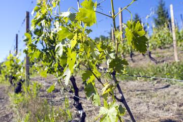 Monferrato grapevine in early springtime color image