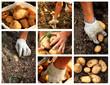 Kartoffeln in der Landwirtschaft