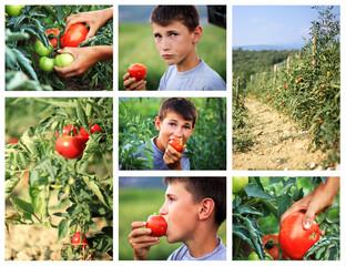 Tomaten in der Landwirtschaft