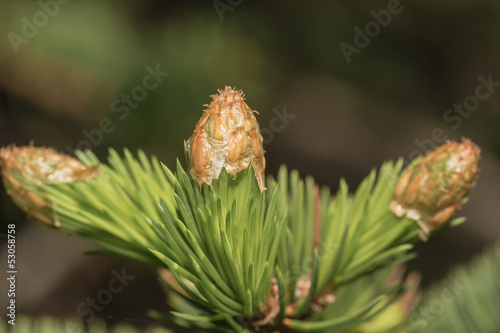 Branch of a pine in the spring