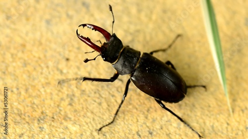 Beetle of family Lucanidae, macro