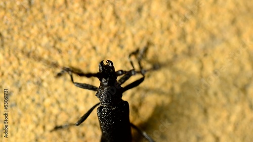 Beetle of family Cerambycidae, macro