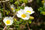 White rockrose flowers