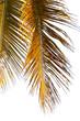 palmes mûres de cocotier sur fond blanc
