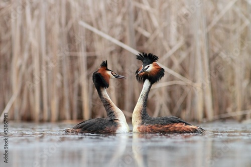 Great Crested Grebe Podiceps cristatus making love