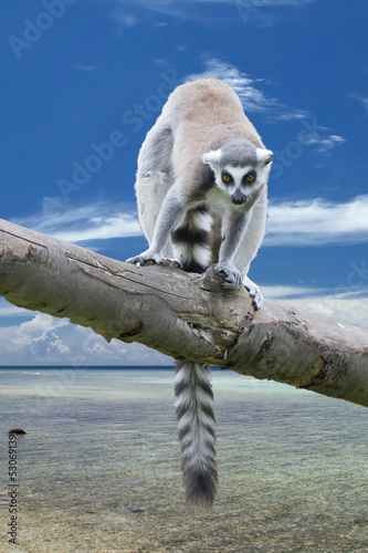 Isolated Lemur Monkey on madagascar background