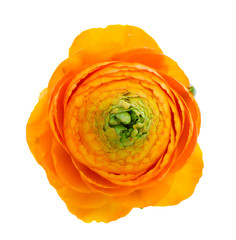 one  orange ranunculus