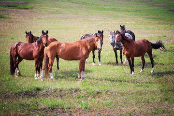 Horses of Khakassia