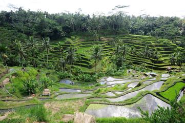 Risaie vicino a Ubud sull'isola di Bali