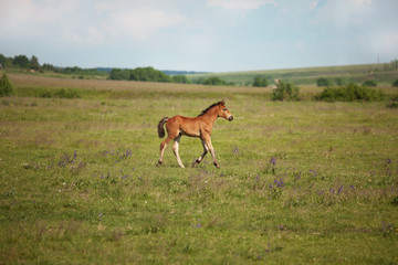 Little foal running on the field