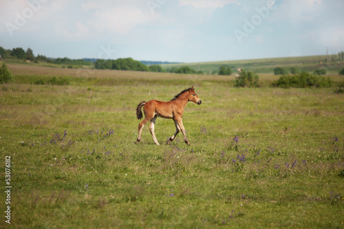 Little foal running on the field
