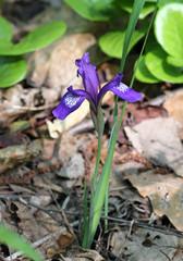 Цветок ириса в лесу
