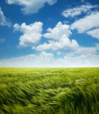 Greed Wheat Field and Blue Sky with Clouds poster