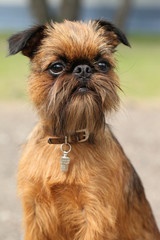Brussels Griffon dog portrait