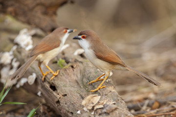 Yellow-eyed babbler with clear background,thailand
