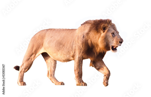 Poster Leeuw Lion Isolated on white